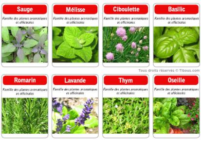 Les plantes aromatiques classiques !