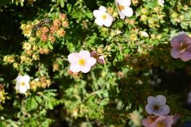 Plein d'abeilles sur les arbustes proches de l'appartement!
